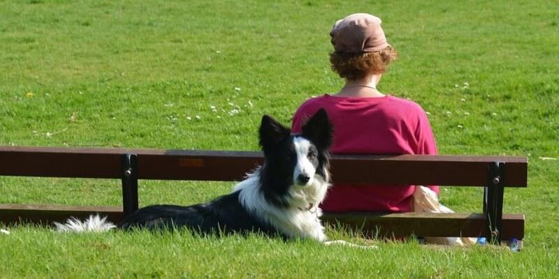 Collie tarkkaavaisena nurmikolla emännän vieressä
